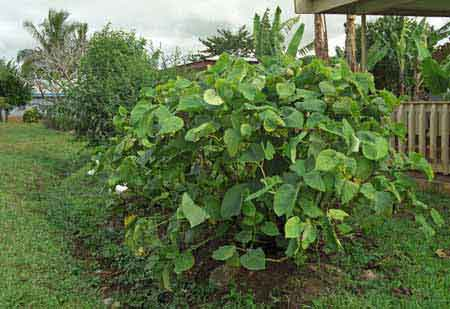 Kava plante