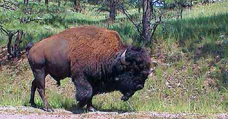 bisons troupeaux custer state park dakota du sud. Black Bedroom Furniture Sets. Home Design Ideas