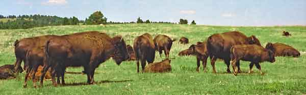 troupeau de bisons - Custer park - Dakota du sud